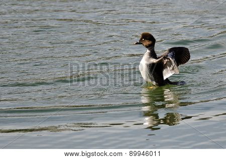 Female Common Goldeneye Stretching Its Wings On The Water