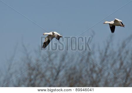 Pair Of Snow Geese Landing In The Marsh