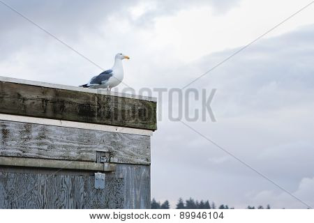Herring gull on a building.