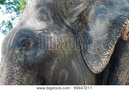 Close Up Of An Asian Elephant