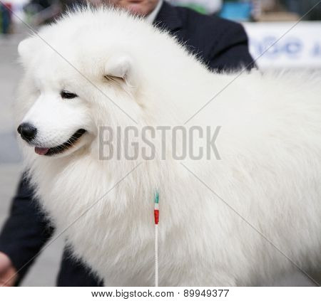 Maremman Sheepdog