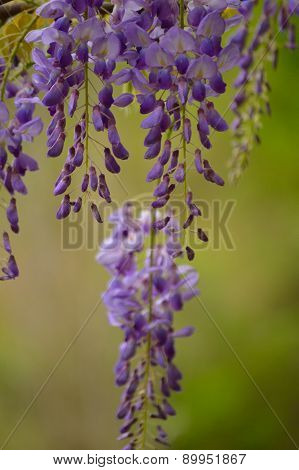 Purple And Green Wisteria Blooms, Vertical