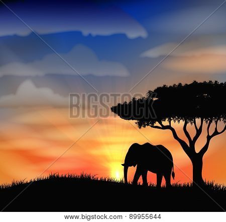 African elephant on the  sunset