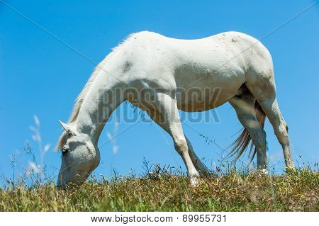 White Horse On Hillside Field Eating Grass