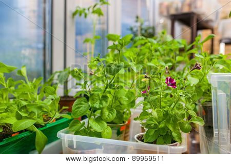 Growing seedlings and flowers in apartment before sow in ground.