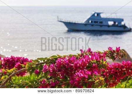 pink bougainvillea, Sharm el Sheikh, Egypt.