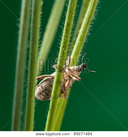 Weevil In Grass