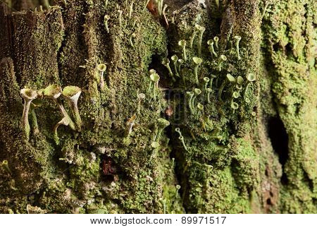 Lichen Cladonia