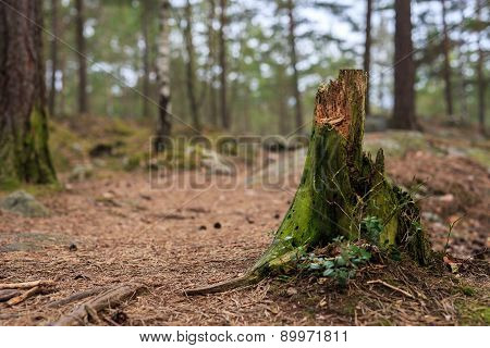 Tree stub with selective focus and shallow depth of field in pine forest