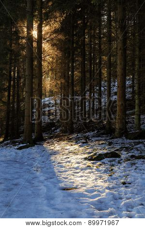 Sun shining through pine forest during Winter with snow on ground