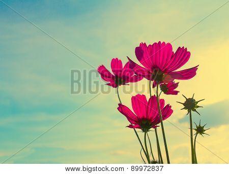 Pink Cosmos Flower, Vintage Stye
