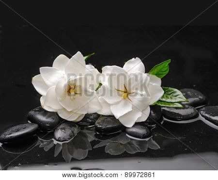 two gardenia with green plant on black pebbles