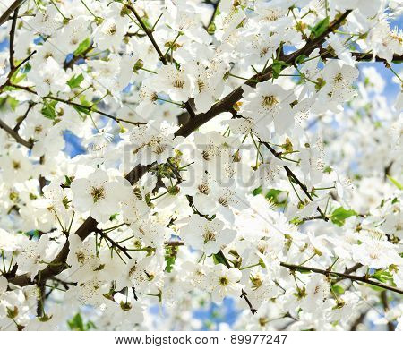 Cherry Blossoms In Spring Day