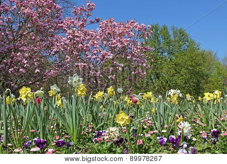Springtime In The Park - Flowerbed With Narcissus, Bellis And Magnolia