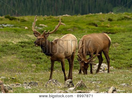 Elk Feeding On The Tundra