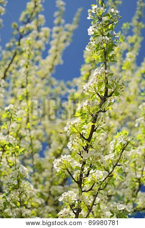 White Pear Blossoms On Branch With Blue Sky