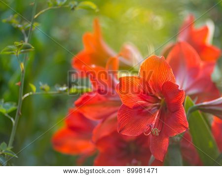 Beautiful red flowers in garden. Shallow DOF.