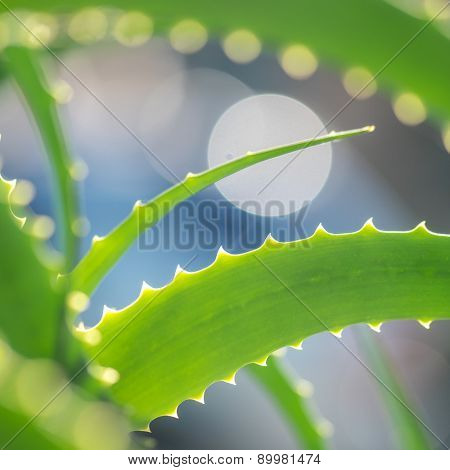 Aloe Vera leaves, macro closeup. Shallow DOF.