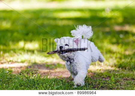 Bichon With Wooden Stick In The Park