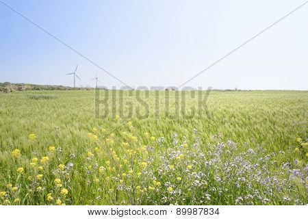 Landscape Of Green Barley Field And Yellow Canola Flowers
