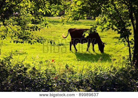 A Cow Grazing On The Lawn Among The Trees In Summer