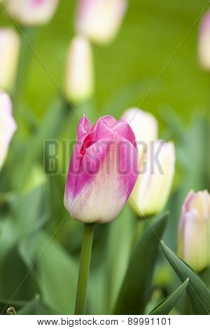 Pink Tulips In The Spring.
