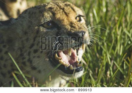 Cheetah gruñido