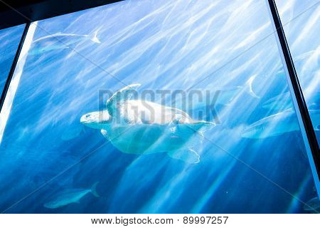 Sea turtle swimming with fish in aquarium