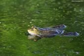stock photo of edible  - Edible or common water frog  - JPG