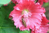 pic of hollyhock  - Red hollyhock flowers and grasshopper - JPG