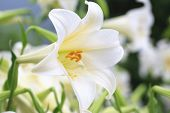 stock photo of raindrops  - Closeup of white with yellow lily flower in full bloom with raindrop in the garden in summer - JPG