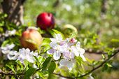 picture of apple orchard  - Apple tree flowers with apple fruits in background - JPG
