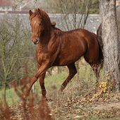 stock photo of running horse  - Beautiful chestnut horse running alone in autumn  - JPG