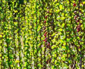 stock photo of barberry  - green sprout barberry bush ornamental garden plants - JPG