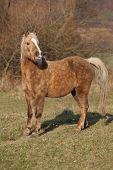 stock photo of pony  - Adorable pony standing on pasturage in autumn  - JPG