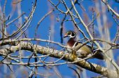 foto of crested duck  - Male Wood Duck Perched in a Tree