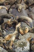 stock photo of sea lion  - A colony or harem of sea lions on the rocks in Yaquina Bay in Newport Oregon - JPG