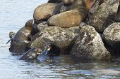 pic of lion  - A bunch of sea lions laid out on the rocks in Newport Oregon - JPG