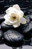 foto of gardenia  - gardenia with therapy stones  - JPG