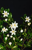 picture of gardenia  - branch gardenia  - JPG
