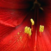 stock photo of stamen  - a close up of stamen - JPG