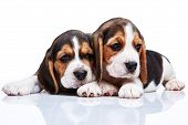 pic of puppy beagle  - The two beagle puppies lying on the white background - JPG