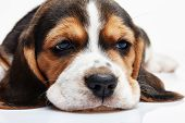 image of puppy eyes  - Beagle Puppy 1 month old lying in front of white background - JPG