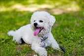 stock photo of bichon frise dog  - cute small bichon laying in grass in the park notice - JPG