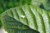 stock photo of loquat  - Closeup of a hole on a loquat leaf - JPG