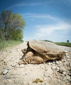 pic of mud  - Common snapping turtle covered in dried mud crossing a country gravel road - JPG