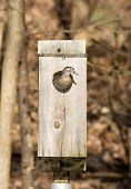 picture of nesting box  - Female wood duck looking out of a nest box on a small pond in midwest United States - JPG