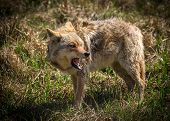 stock photo of vicious  - A vicious and angry looking North American coyote  - JPG