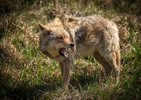 picture of coyote  - A vicious and angry looking North American coyote  - JPG