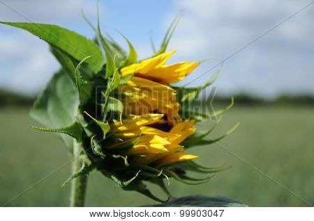 Unblown Sunflower On A Meadow